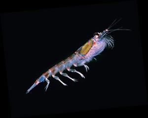 krill02